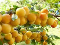 Варенье из желтой сливы - рецепты с яблоком, апельсином, лимоном, орехами, пятиминутка