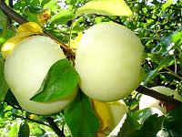 Варенье из яблок белый налив - простые рецепты на зиму