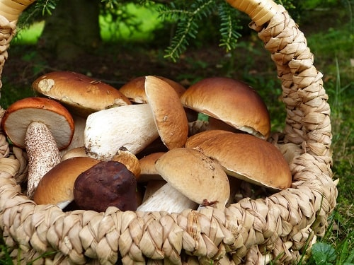 белые грибы -min